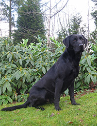Labrador Retriever Stud Dogs at Leadburn Gun Dogs