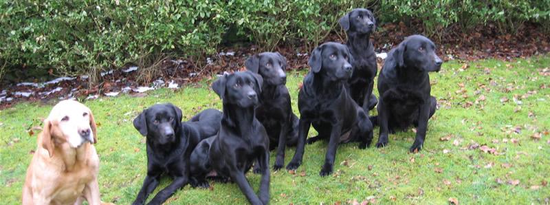 Uk Gundogs For Sale Labrador Retrievers Stud Dogs Gundog Breeder